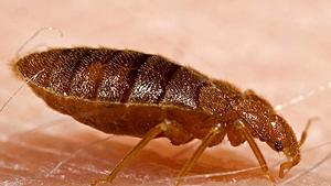 Establishing a bedbug monitoring program: Understanding the bugs for successful intervention